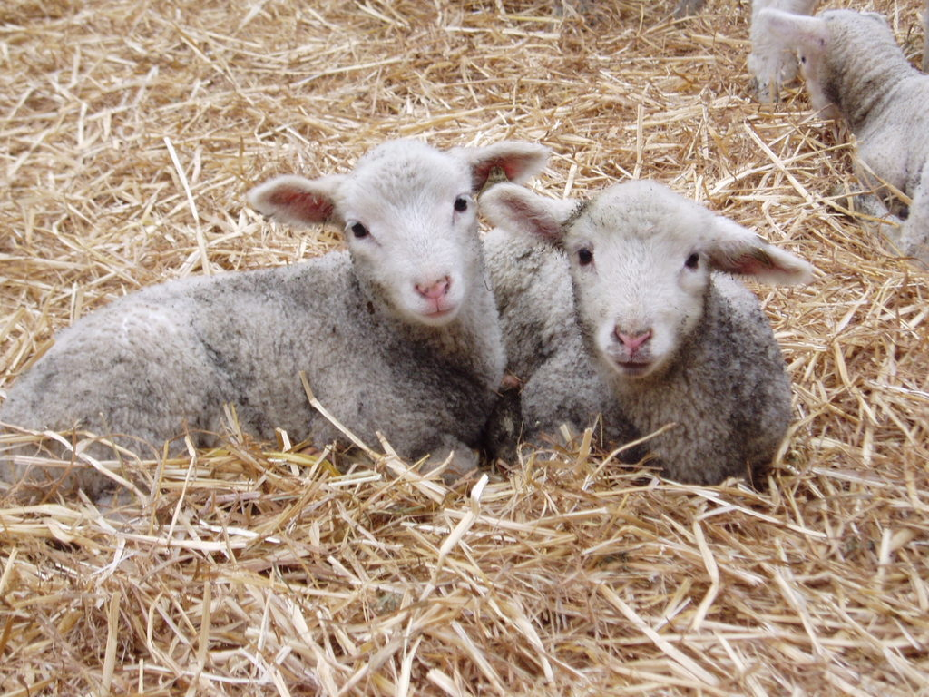 Photos: Baby Lambs | Of The Hands