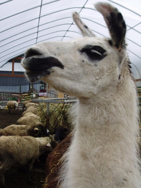Icey, the llama, apparently posing for her picture. She helps watch over the little ones.