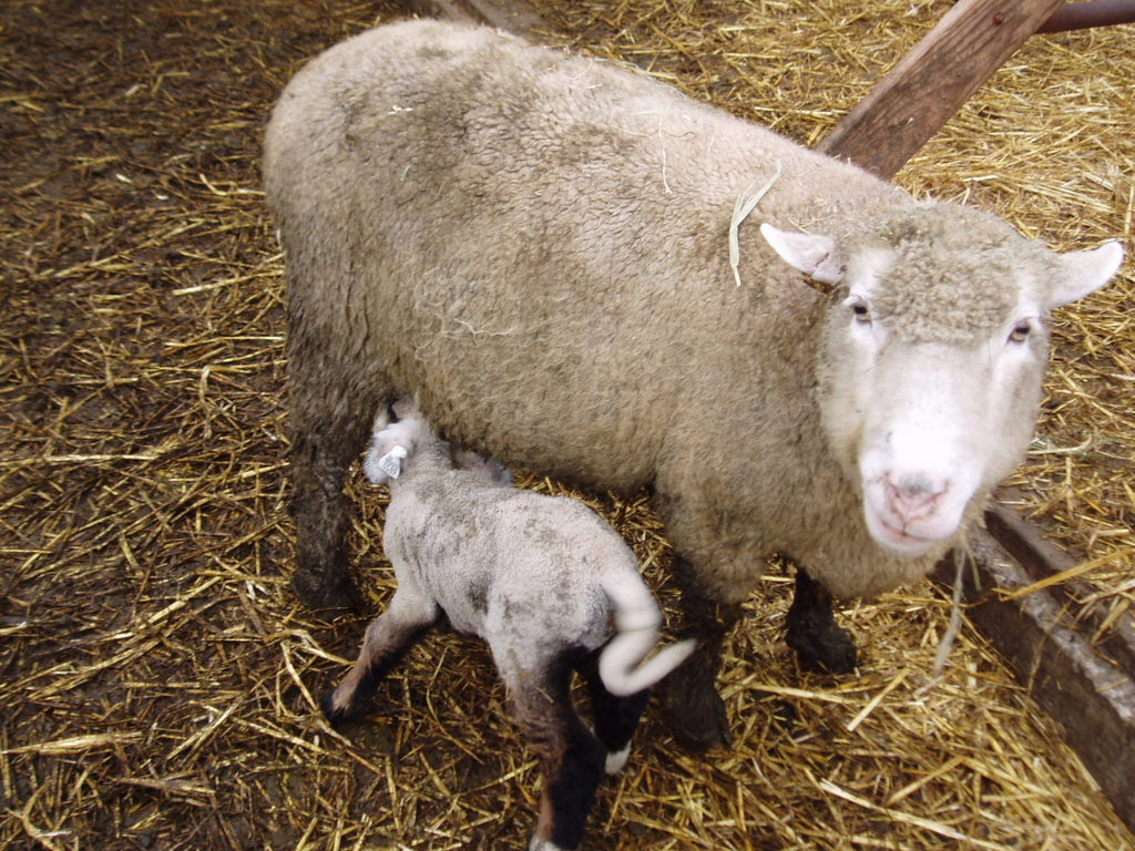 I Love Watching The Lamb Tails Go Mad As They Nurse