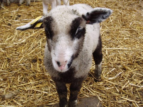 Some of the coloring on the lambs are just ridiculously fantastic. This guy's an example.